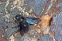 Blaue Holzbiene, Blauschwarze Holzbiene, Große Holzbiene, Xylocopa violacea, Violet carpenter bee, Indian Bhanvra