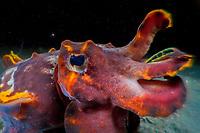 A flamboyant cuttlefish (Metasepia pfefferi). Lembeh Strait, Indonesia