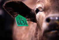 Close up of a numbered ear tag identifying a cow.