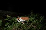 Domestic Cat (Felis catus) male near house at night, Colombo, Sri Lanka