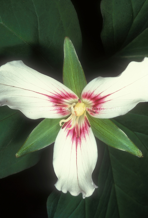 Trillium undulatum, Painted Trillium in spring flowers, with white blooms and red markings in center
