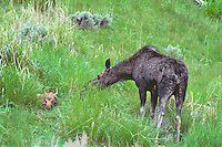 Moose--calf rests in grass while mom (cow) feeds.  Western U.S.  June.