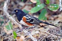 Spotted towhee. Note light eye in this bird.