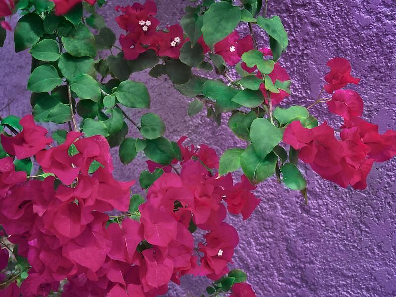 bougainvillea flowers with purple wall. St. John, Virgin Islands