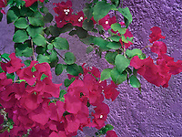 bougainvillea flowers with purple wall. St. John, Virgin Islands