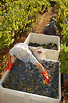 Sangiovese wine grape harvest, Amador-Foothill Winery..Jason Hernandez, cellar master, Mary Lou Pasto and Mark Willstatter picking leaves from grapes; Ben Zeitman and Katie Quinn, vineyard/winery owners.