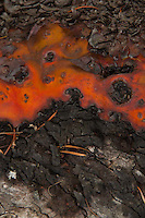 Madrona (Arbutus menziesii) Bark Detail, Jones Island, San Juan Islands, Washington, US