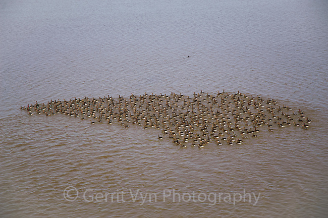 Flock of molting Greater White-fronted Geese (Anser albifrons). Teshekpuk Lake, Alaska. July.