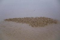 Flock of molting Greater White-fronted Geese (Anser albifrons). Teshekpuk Lake, Alaska. July.