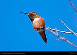 Allen's Hummingbird Male, Sepulveda Wildlife Refuge, Southern California