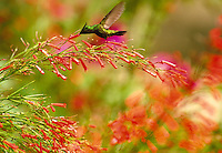 Antillian Crested hummingbird in flight feeding on firecracker plant. St Thomas, US Virgin Islands Caribbean.