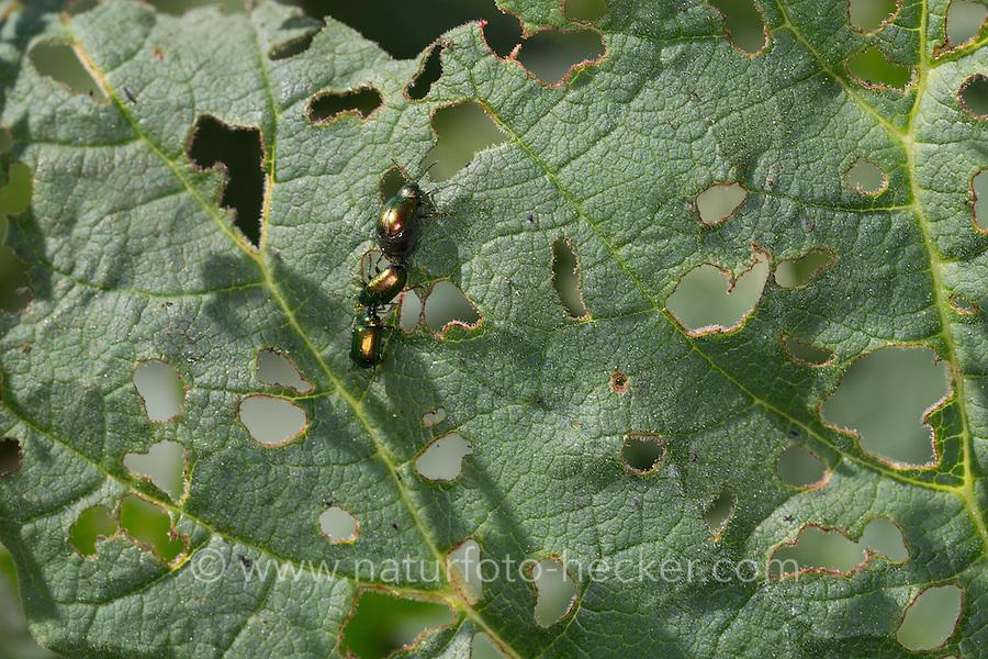 Grüner Sauerampfer-Käfer, Sauerampferkäfer, Ampfer-Blattkäfer, Ampferblattkäfer, Gastrophysa viridula, Gastroidea viridula, Blattkäfer frisst an Blatt vom Rhabarber, Rumex, green dock beetle, green dock leaf beetle, green sorrel beetle