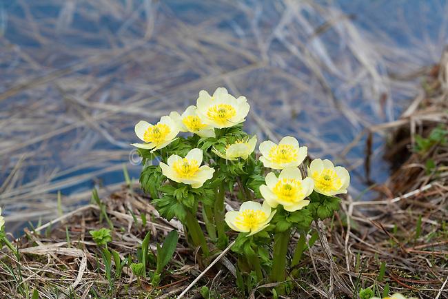 Globeflowers growing in early spring in western Montana