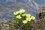 Globeflowers growing in early spring in western Montana