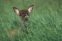 Jasper National Park, Canadian Rockies, AB, Alberta, Canada - Elk Calf, Wapiti (Cervus canadensis), resting in Tall Grass Meadow