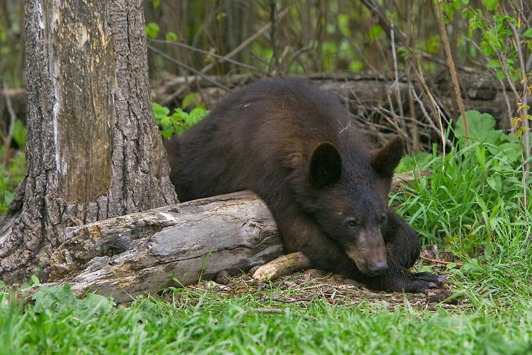 Black Bear yearling cub lying over a log