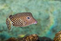 white-spotted boxfish, Ostracion meleagris, female, Kahaluu Beach Park, Keauhou, Kona Coast, Big Island, Hawaii, USA, Pacific Ocean