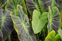 Taro (kalo) leaves, Hamakua, Big Island.