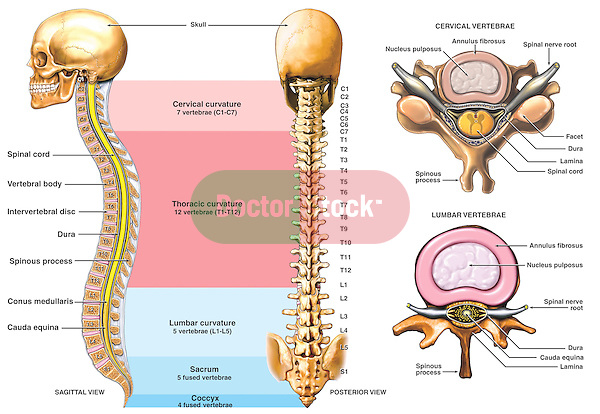 "Accurately depicts the anatomy of the spine, or vertebral column, alongside two 'typical' vertebrae from the cervical and lumbar regions. Labels for spinal cord, vertebral bodies, intervertebral discs, dura mater and others. Includes labels from C1 to the coccyx. Shows spinal curves, including the cervical, thoracic, lumbar, sacral and coccygeal curvatures. Displays ""typical"" cervical and lumbar vertebra, respectively."