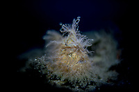Hairy Frogfish (Antennarius striatus) in embeh Strait / Indonesia
