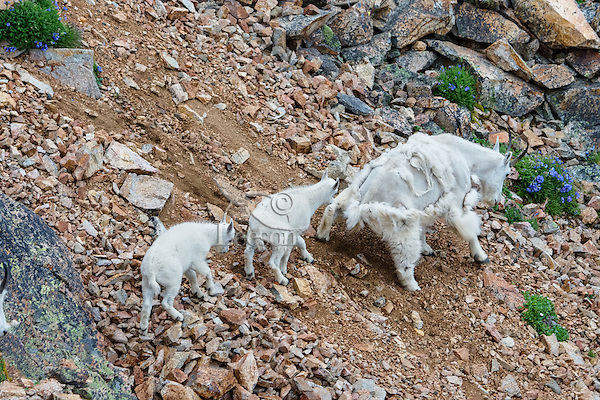"""Mountain Goat (Oreamnos americanus) nanny and kids crossing scree slope in the Beartooth Mountains near the Wyoming/Montana border.  The nanny is shedding her heavy winter coat of fur to a new """"summer weight"""" fur coat which will grow long again for the next winter.  Twins are fairly uncommon among mt. goats and one of these kids probably belongs to another nanny that is outside this photo."""