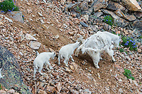 "Mountain Goat (Oreamnos americanus) nanny and kids crossing scree slope in the Beartooth Mountains near the Wyoming/Montana border.  The nanny is shedding her heavy winter coat of fur to a new ""summer weight"" fur coat which will grow long again for the next winter.  Twins are fairly uncommon among mt. goats and one of these kids probably belongs to another nanny that is outside this photo."