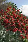 Spain, Canary Islands, La Palma, red Poinsettia (Euphorbia pulcherrima), Mexican flame leaf, Christmas star, Winter rose