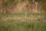 Sandhill Crane - Spring