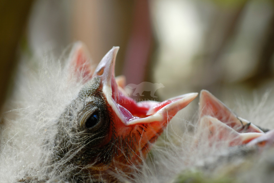 Gewone vink (Fringilla coelebs)