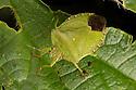 Green Shield Bug {Palomena prasina}. Norfolk Broads, UK. September.