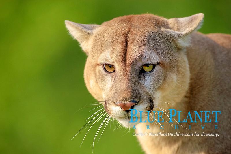 Puma (Puma concolor), adult, portrait, Minnesota, USA, America, North America