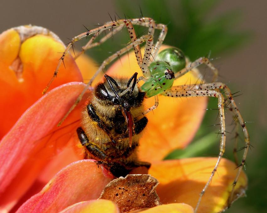 Green Lynx Spider with Honey Bee prey.