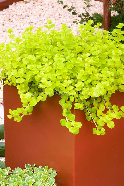 Creeping jenny Gold moneywort, groundcover Lysimachia nummularia 'Aurea' in orange pot container, with variegated herb basil at base, on stone patio