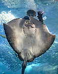 "A giant ray appears jubilant as it smiles widely while being fed.   The diver had entered the tank to check for any dead fish - but the ray spotted an opportunity for a snack. <br /> <br /> When they ran out of food the rays were still reluctant to let the diver go, and followed her around as she tried to leave. The photos were taken at the Enoshima Aquarium in Kanagawa, Japan, by professional British photographer David Williams, who said: ""I was originally going to take photos of jellyfish, but I always stop by the huge wall of glass to watch the fish.  SEE OUR COPY FOR DETAILS.<br /> <br /> Please byline: David Williams/Solent News<br /> <br /> © David Williams/Solent News & Photo Agency<br /> UK +44 (0) 2380 458800"