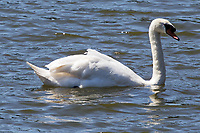 """Pictured: The killer swan, named by locals """"Mr Nasty"""" in the pond by Pembroke Castle, west Wales, UK. Sunday 08 July 2018<br /> Re: A vicious killer swan is prowling around Pembroke, determined to see off any threat to his territory by ruthlessly drowning his victims.<br /> So far, he has killed 10 other swans, though many more have been saved from his attacks.<br /> Dubbed by locals """"Mr Nasty""""  lives on the Castle Pond by Pembroke Castle. <br /> Bird sanctuary worker Maria Evans says she has watched him at work, drowning other swans, breaking their feet or pushing them over a sluice.<br /> In 2010, another killer swan dubbed """"Hannibal"""" had his wings clipped after attacking other swans in the same pond."""