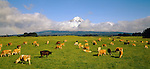 Jersey dairy cows grazing in green fields near Mount Taranaki (Egmont) in the Taranaki Region New Zealand.