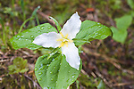 Three leaves and petals of the Trillium Wildflower growing in  western Montana forests