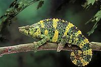 Meller's Chameleon..Native to Tanzania. Captive..(Chamaeleo Triceros melleri).