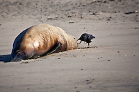 A sub-adult, male Steller sea lion lies dead on the sand at Pomponio State Beach, while a scavenger - crow or raven - begins 'the process'.  A Marine Mammal Center examination found the cause of death to be 'undetermined' - another one of many unexplained Steller sea lion deaths.  The Steller sea lion is a listed threatened/endangered species.