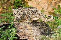 Snow Leopard kitten walking along an old log - CA