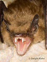 MA20-774z  Big Brown Bat threatening with mouth open showing teeth, Eptesicus fuscus