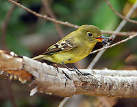Adult yellow-bellied flycatcher with large ant. The bird battered the ant for several minutes before swallowing it.