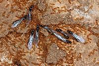 Gelbe Diebsameise, Blick ins Nest mit Arbeiterinnen und geflügelten Männchen, Diebische Zwergameise, Solenopsis fugax, Diplorhoptrum fugax, European thief ant, La solenopsis fugax