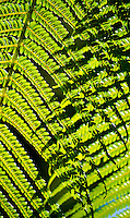 Morning sunlight seen through native hapu'u fern fronds in a rainforest, Volcano, Big Island.