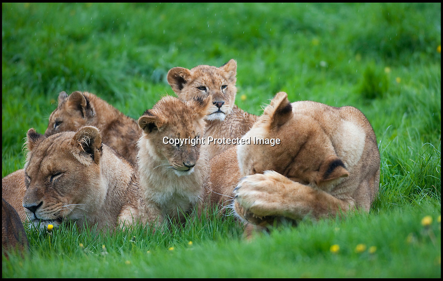 """BNPS.co.uk (01202 558833).Pic: IanTurner/BNPS..It's every parents' nightmare; trying to keep the youngsters entertained on a rainy day...And for the lionesses at Longleat it looks like summer still seems a long way off...The Wiltshire attraction, famed for its lions, is currently enjoying a big cat baby boom with no fewer than 11 cubs born in the past six months...All the prides lionesses help care for the news cubs, but with eleven to look after a bit of warmth and sunshine would make everyone's life a little easier...Longleat's Ian Turner said: """"It's been a long winter and I think we're all - lions and keepers alike - looking forward to the sun on our backs again soon.""""..Forecasters are however predicting a long overdue upturn for the Bank holiday weekend."""