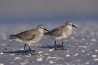Red Knot, Calidris canutus,group winter plumage, Sanibel Island, Florida, USA