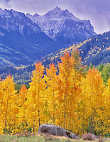 Fall colored aspens with storm clouds. Uncompahgre National Forest, Colorado.