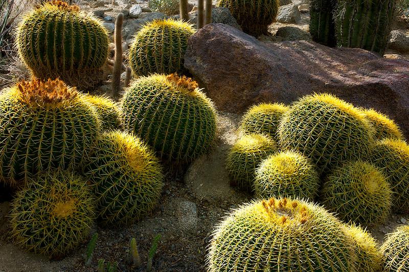 Golden Barrel Cactus. The Living Desert. Palm Desert, California