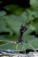 1W17-022c Giant  Ichneumon Wasp - Megarhyssa atrata. - laying egg through wood to parasitize Tremex columba (horntail) developing inside