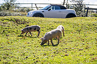 BNPS.co.uk (01202) 558833. <br /> Pic: CorinMesser/BNPS<br /> <br /> Hundreds of pigs have been let loose in the ancient New Forest national park to gobble up fallen acorns which are poisonous to other animals.<br /> <br /> The quirky tradition involves swine roaming the Hampshire woodland to clear it of the fruit which can be fatal to the famous ponies and cattle.<br /> <br /> They will spend 60 days rummaging around the 70,000 acre forest before being rounded up in November.